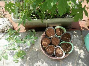 トマトの挿し芽3.JPG