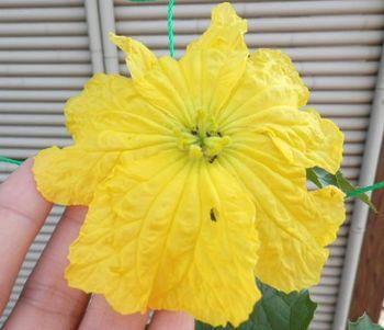 ヘチマの花.JPG