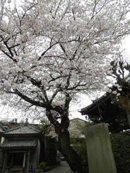 全生庵の桜.JPG