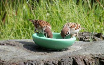 庭の雀.JPG