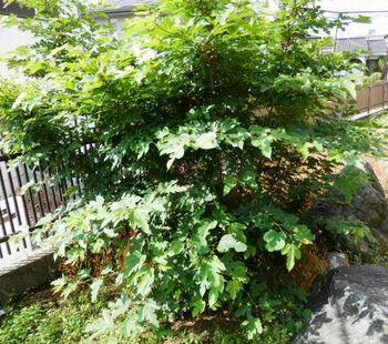 桑の木.JPG